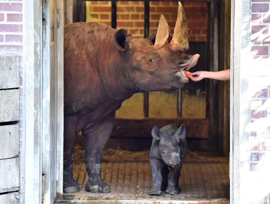 Bebê rinoceronte