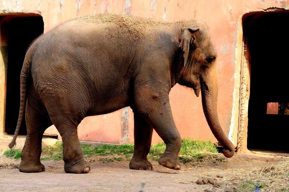 Morre a elefanta Haisa que vivia no zoológico de Sorocaba desde 1995