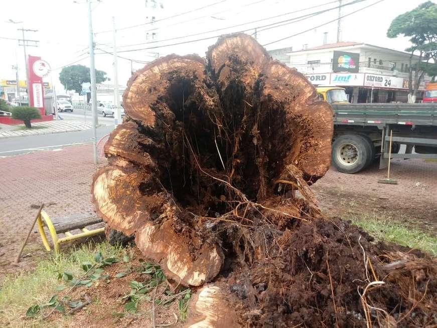 Paineira de 70 anos é cortada em praça