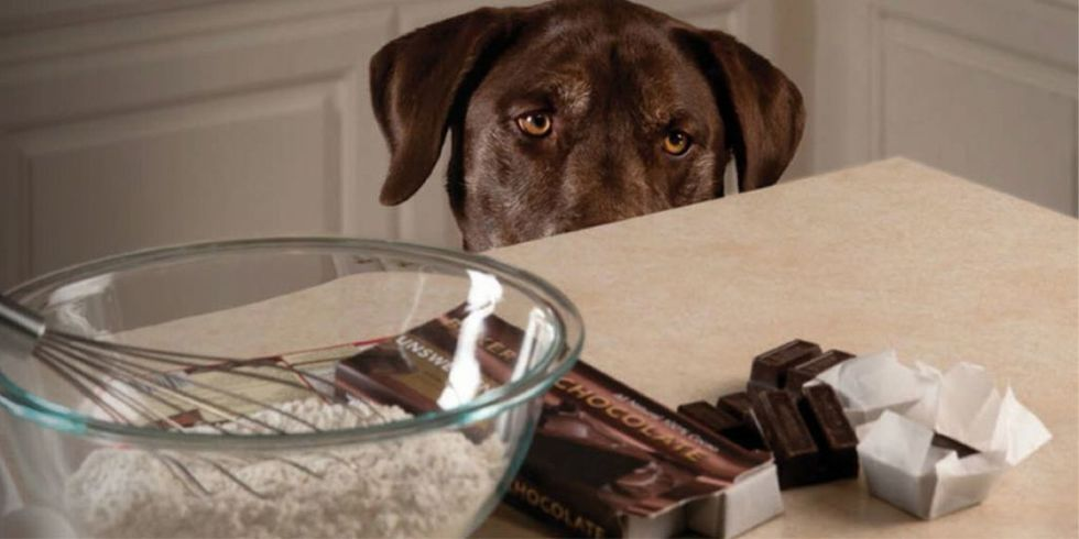 Consumo de chocolate por de ser fatal para cães e gatos, alerta veterinário