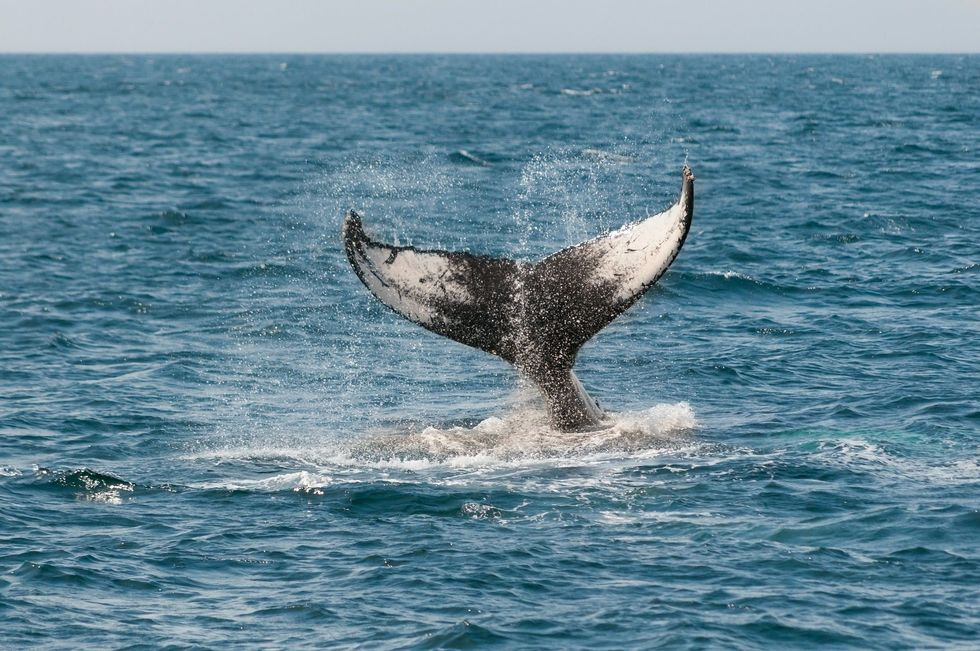 Rússia promete libertar orcas e belugas
