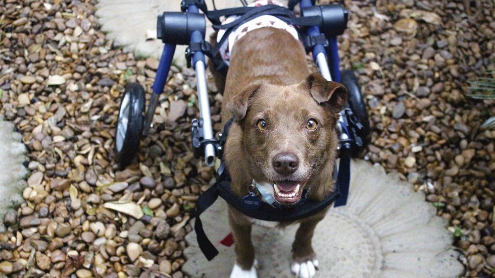 A história de Marrom, o cachorro cadeirante