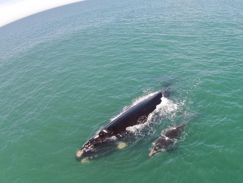 Litoral de Santa Catarina é o melhor observatório de baleias franca no Brasil