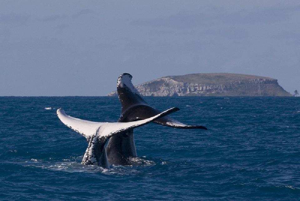 Milhares de baleias Jubarte procuram o litoral do Nordeste do Brasil todos os anos para acasalar