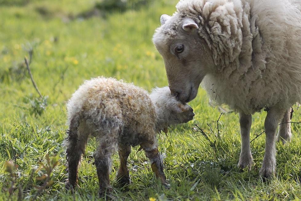 Carneiro, ovelha e cordeiro