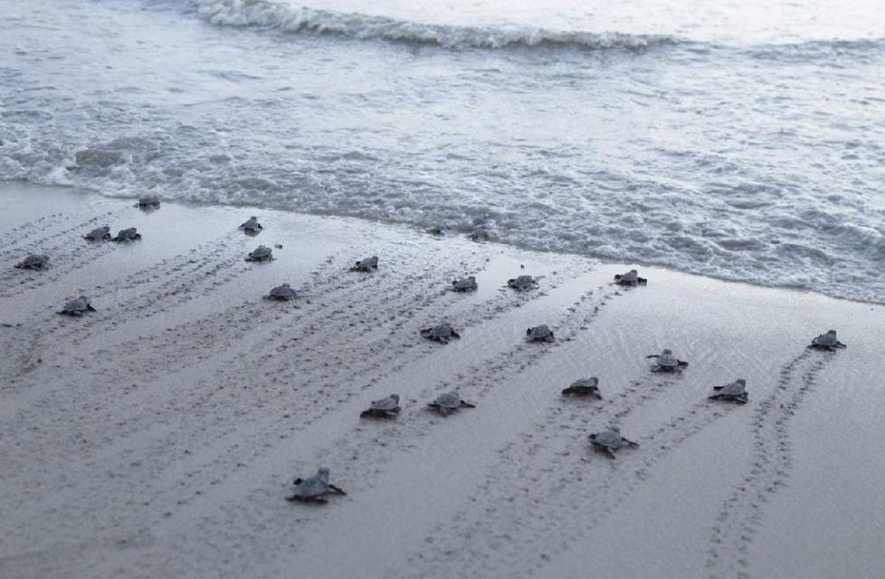 Centenas de tartarugas nascem em Pernambuco