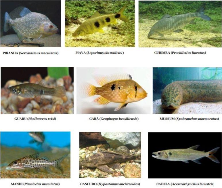Conheça os peixes sorocabanos