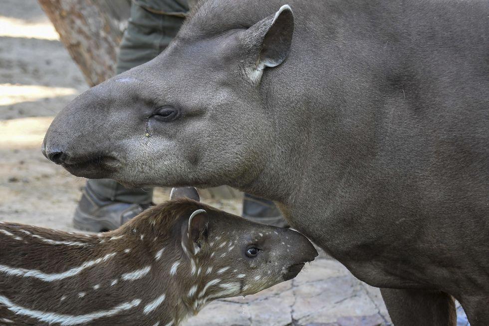 Mamãe anta e seu filhote camuflado