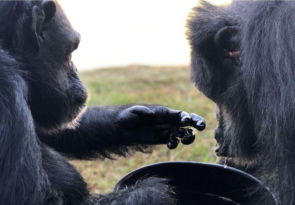 Há um ano, Black deixava o zoo de Sorocaba