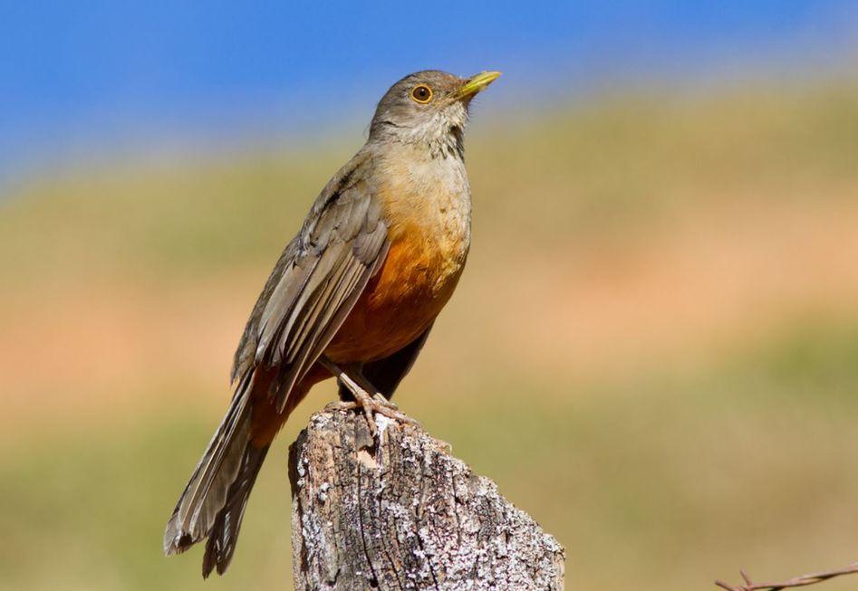 A ave símbolo do Brasil