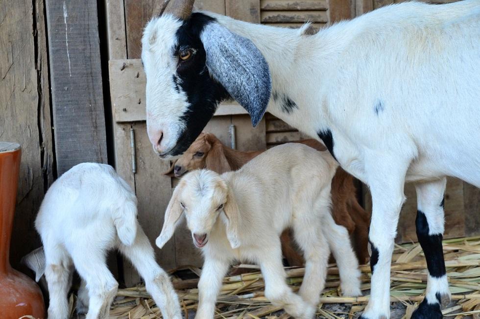Cabra dá à luz três filhotes de uma vez e vira atração em sítio de Sorocaba