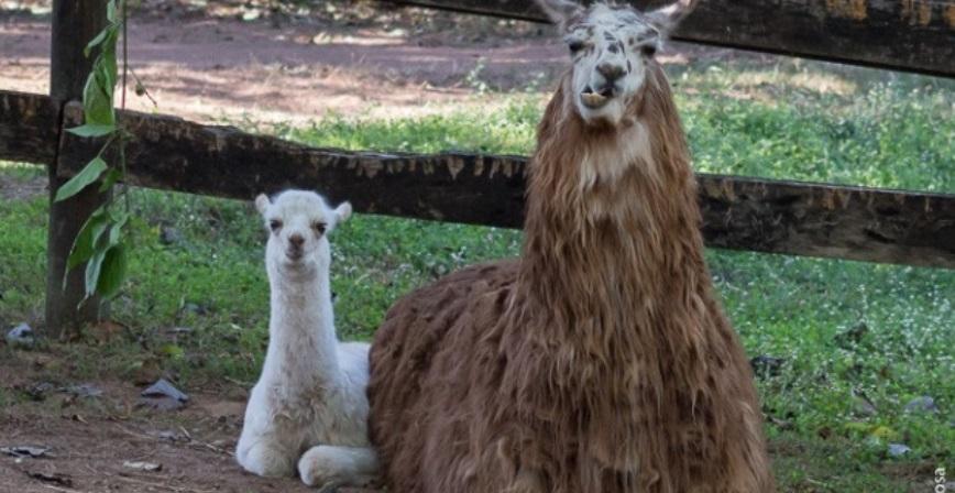 Zoológico de Sorocaba inicia votação para escolha dos nomes de quatro filhotes