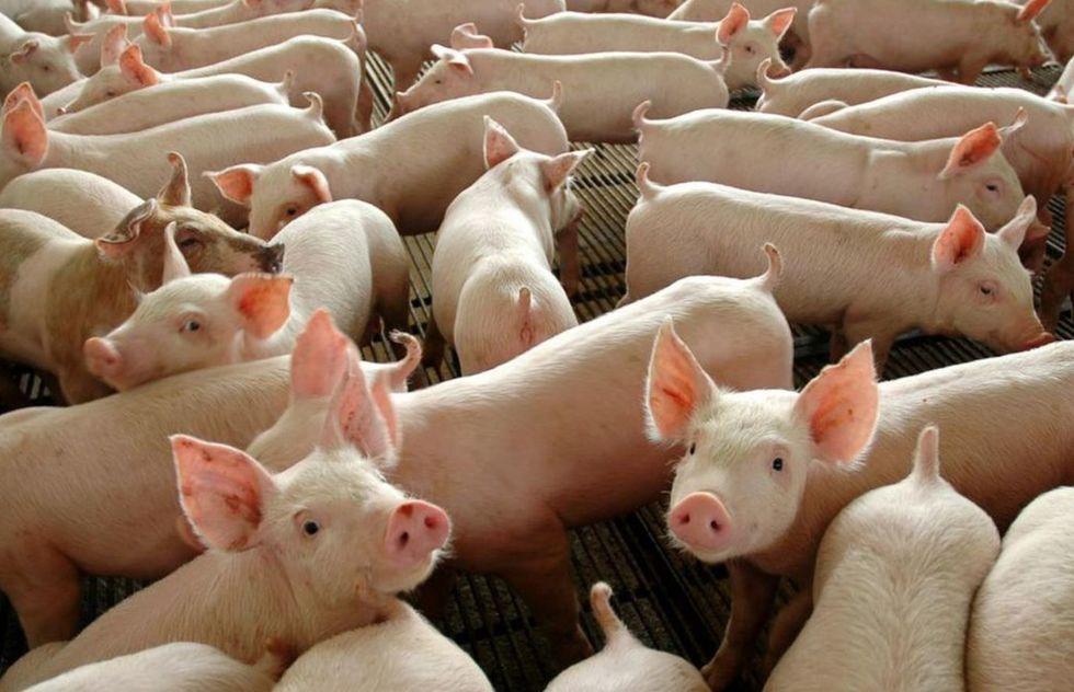 Abate de bovinos cai 9,7% no 2º trimestre