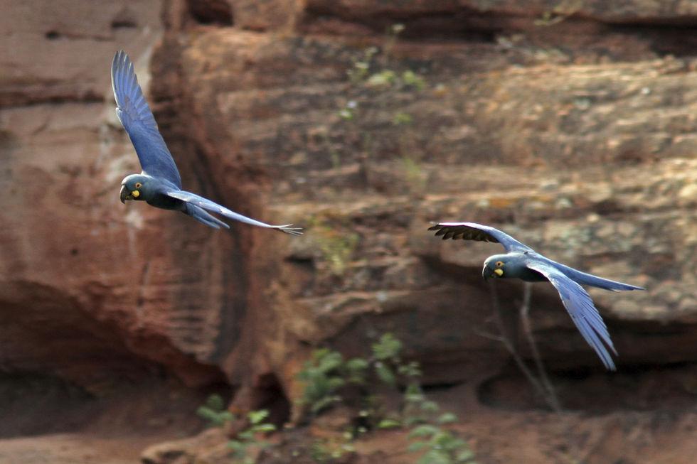 Arara azul tem bico forte como alicate