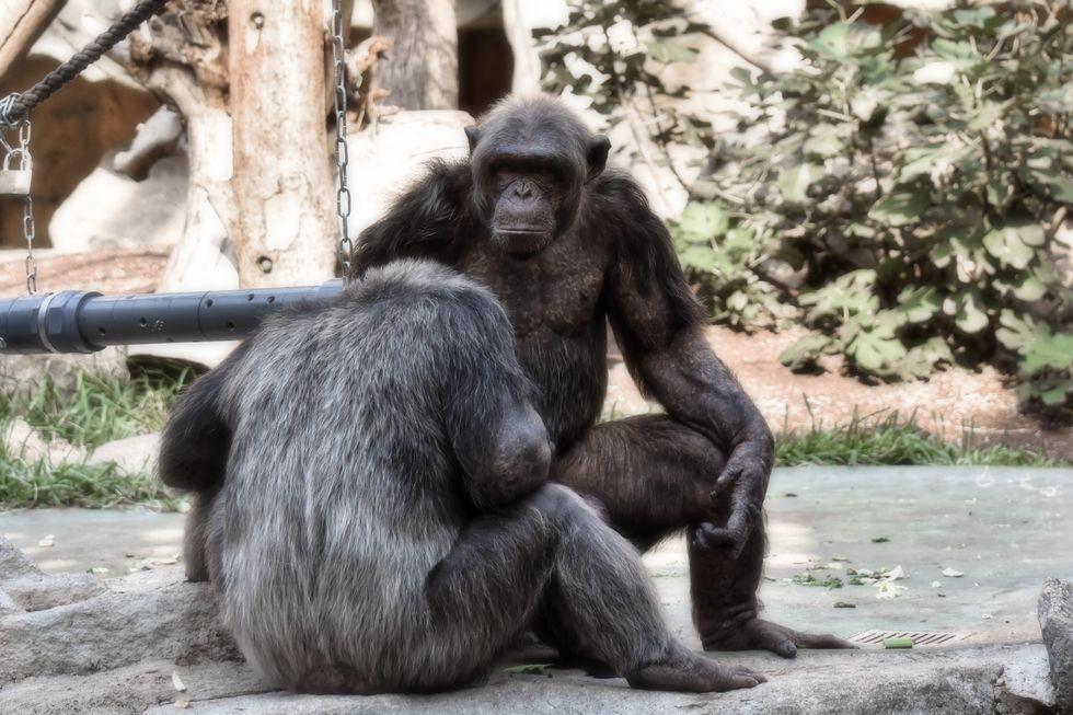 Chimpanzés mais velhos prezam amizade genuína