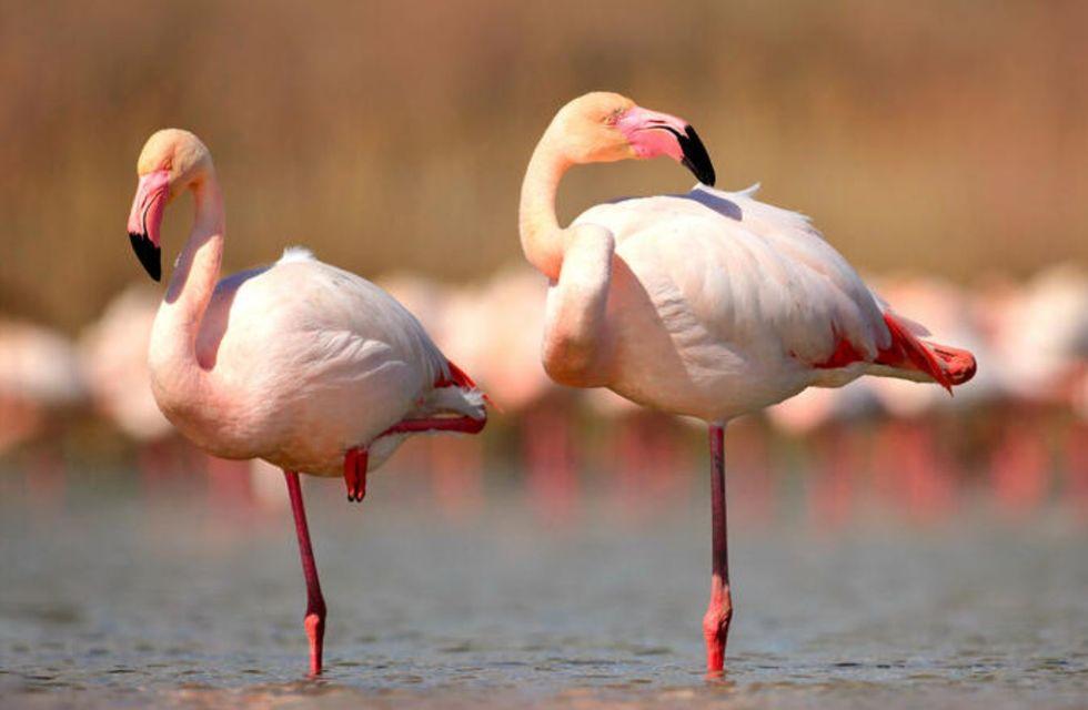 Flamingo fica 20 minutos numa perna só
