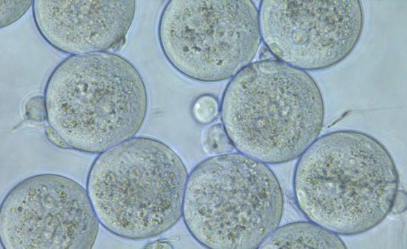 Óvulos podem ser imunes ao coronavírus