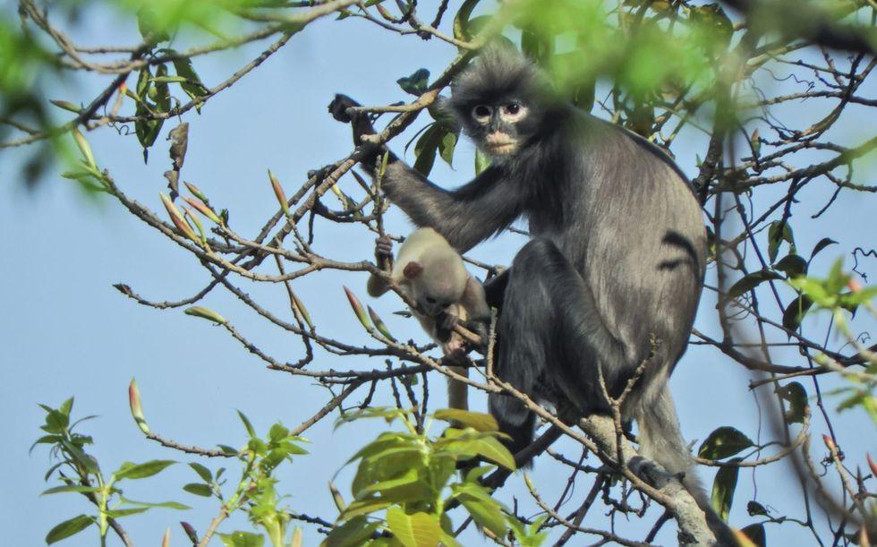 Novo primata é identificado no Mianmar
