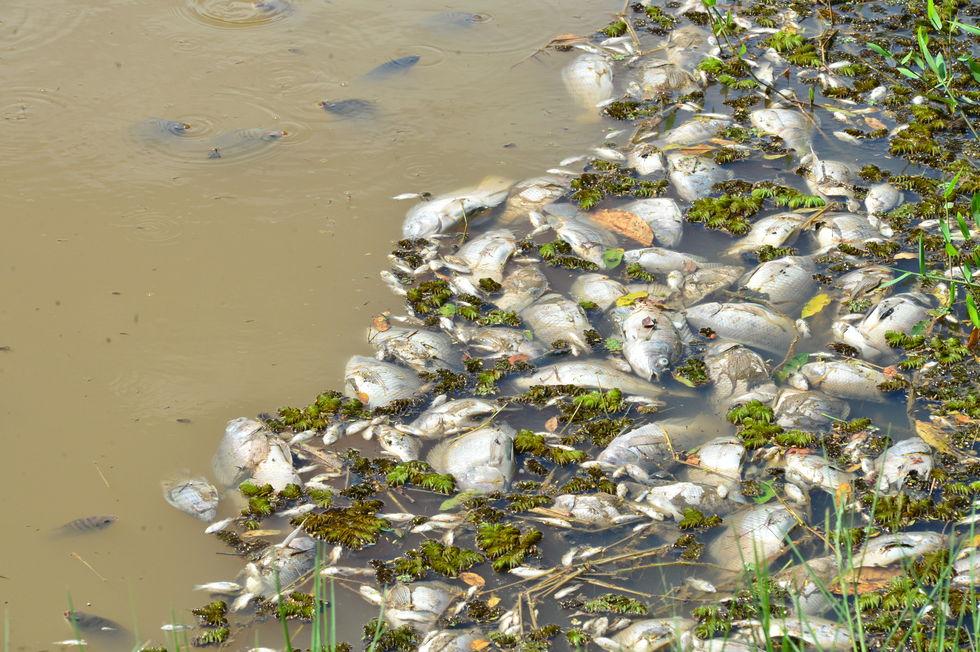 350 quilos de peixes mortos são retirados de lago do Campolim