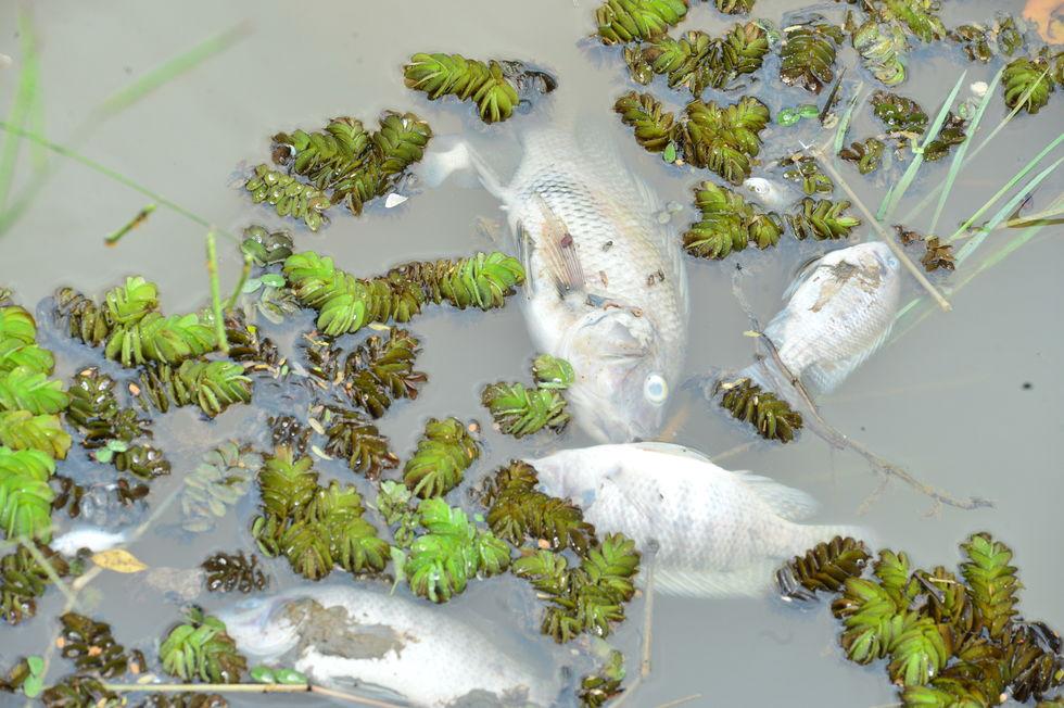 Mais peixes morrem no lago do Campolim