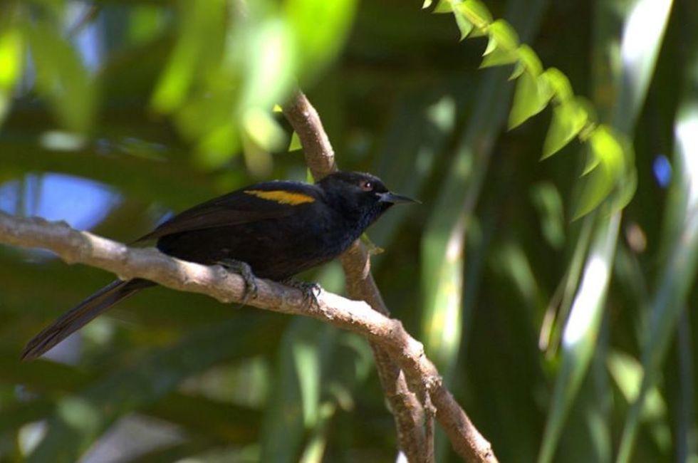 Rouxinol do Rio Negro, uma ave exótica e conhecida pelo canto