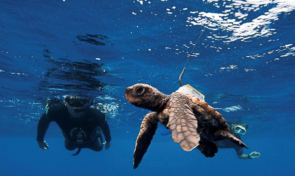 Tartaruga marinha pode ser centenária