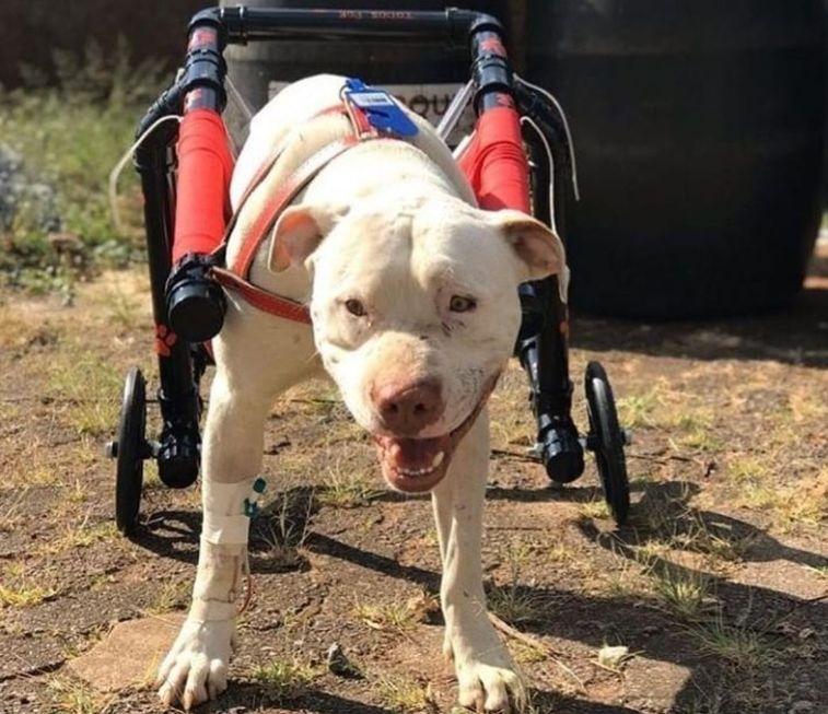 Cão Sanção volta a andar com prótese