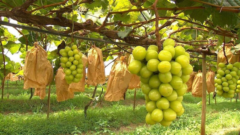 Melhor uva gourmet é de Pilar do Sul