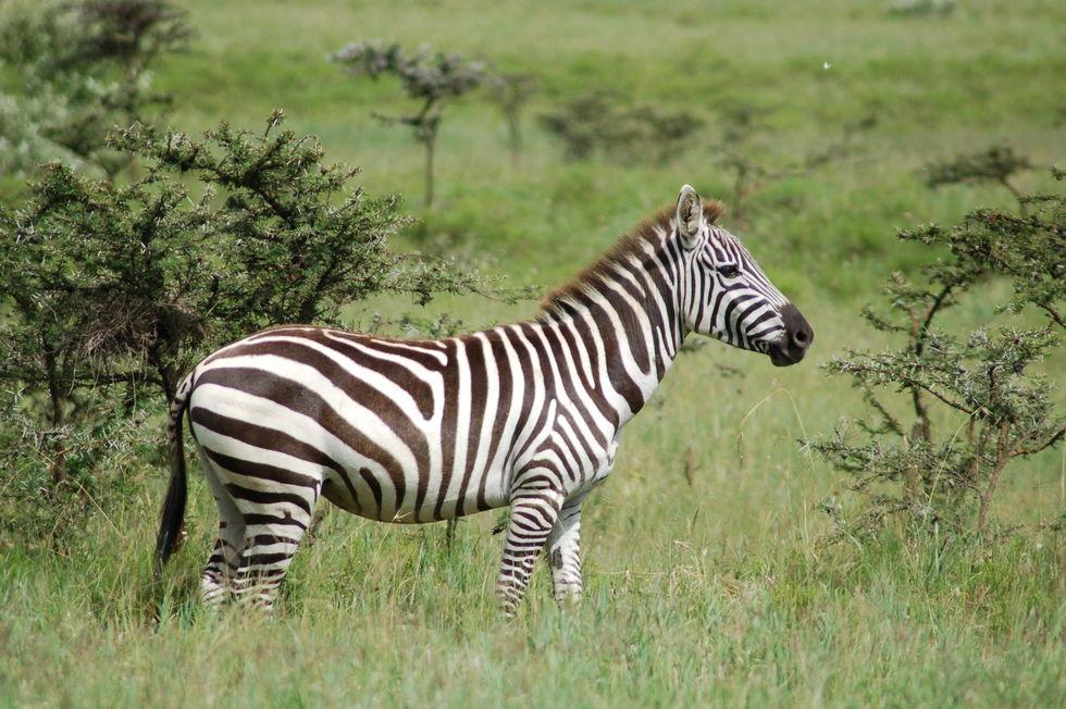 Deu zebra!